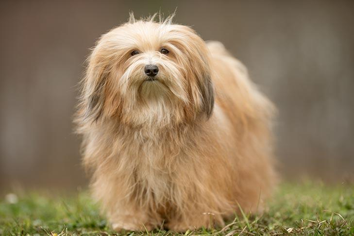 Havanese Dog Breed Information