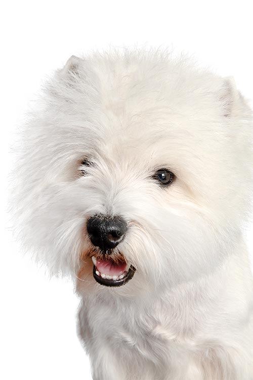 West Highland White Terrier head and shoulders.