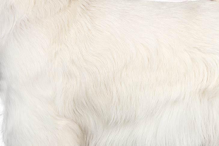 West Highland White Terrier coat detail.