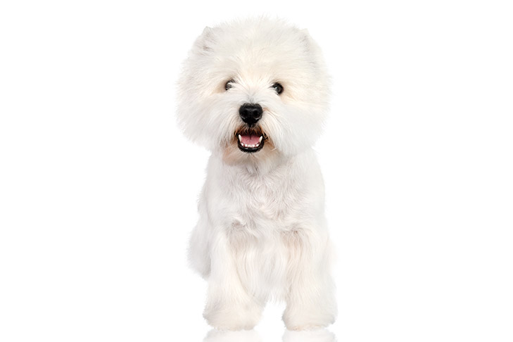West Highland White Terrier standing facing forward.