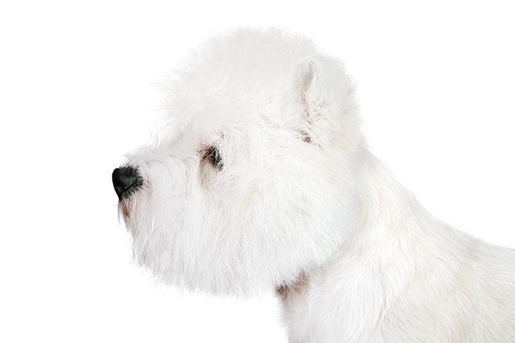 West Highland White Terrier head facing left.