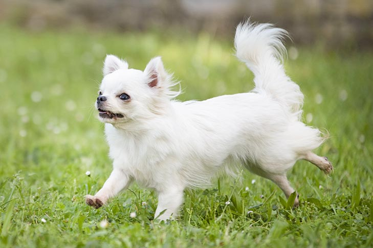 Longhaired Chihuahua running in the grass.
