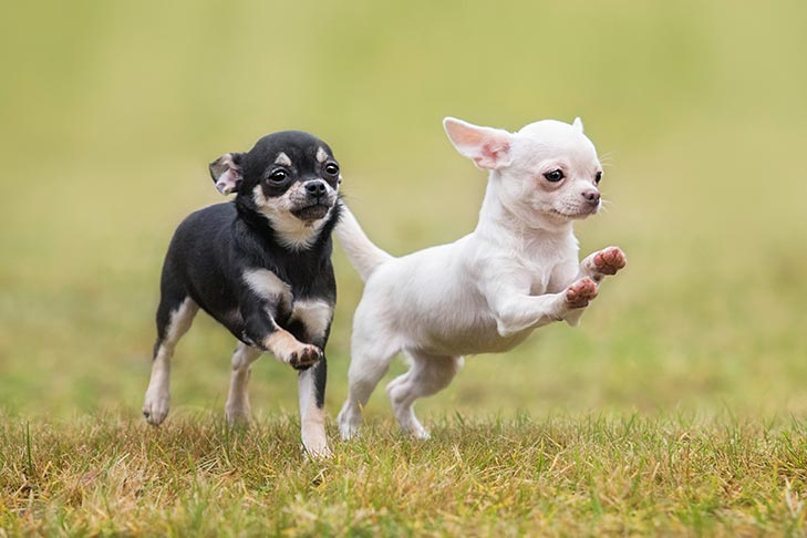 Chihuahua Puppies For Sale Akc Puppyfinder