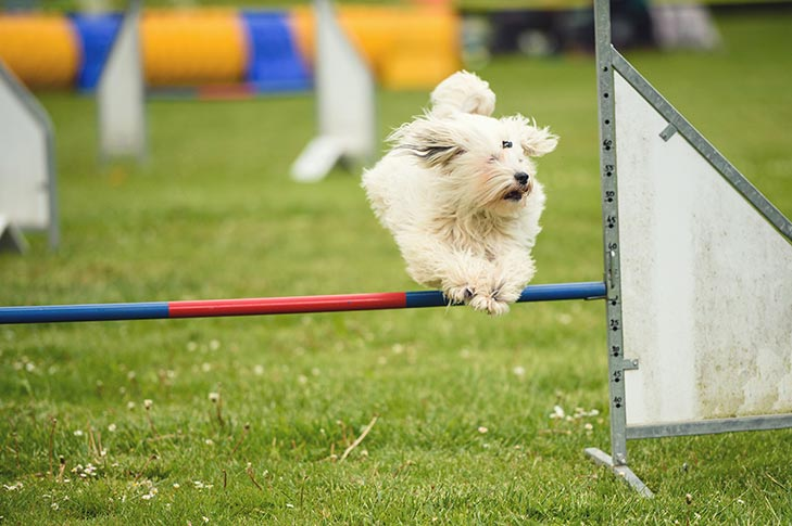 Coton de Tulear leaping over an agility jump outdoors.