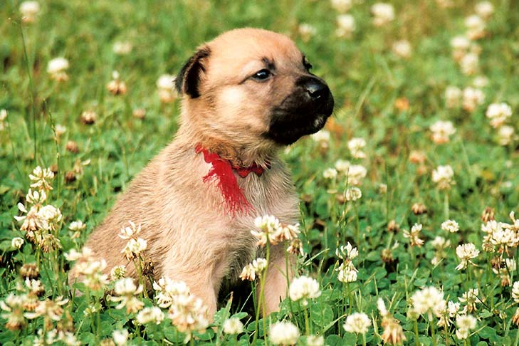 Chinook puppy sitting in a field of wildflowers.