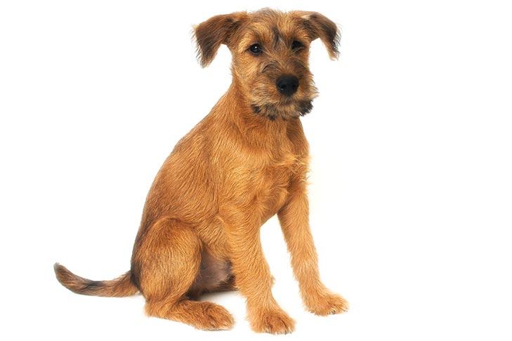 Welsh Terrier Puppies For Sale - AKC PuppyFinder