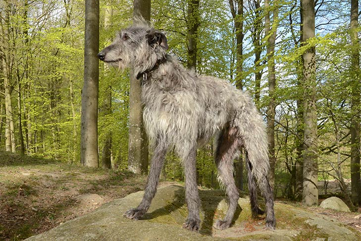 Scottish Deerhound Dog Breed Information