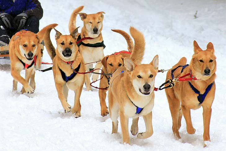 Six dog Chinook sled team.