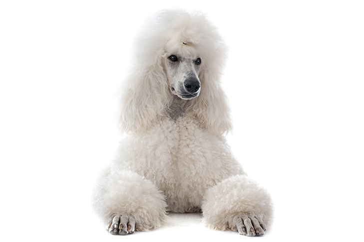 Poodle with a white coat lying facing forward