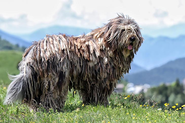 Bergamasco Sheepdog standing in a field in the mountains.