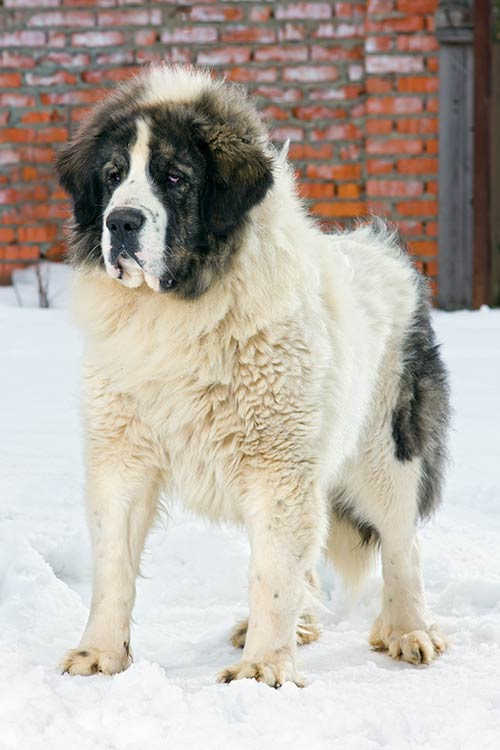 Pyrenean Mastiff standing outdoors in the snow.
