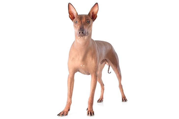 Peruvian Inca Orchid Dog Breed Information American