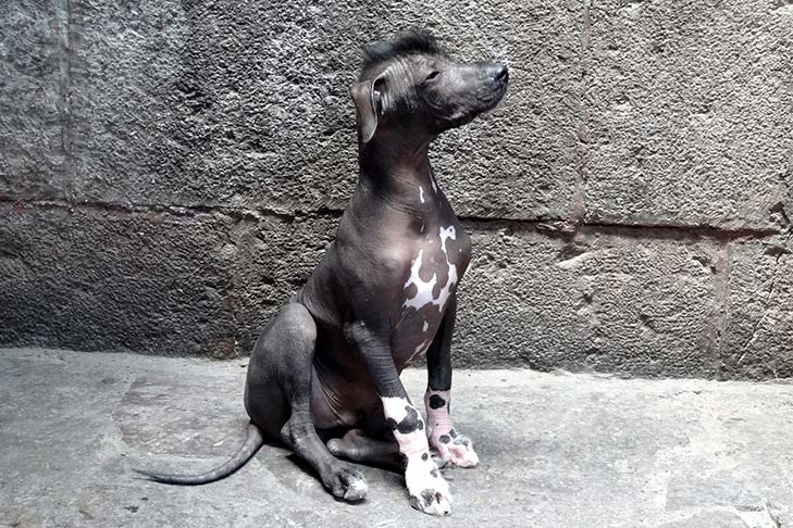 Peruvian Inca Orchid puppy sitting outdoors.