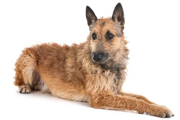 Belgian Laekenois Dog Breed Information American Kennel Club