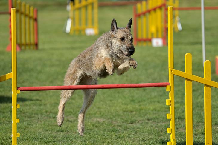 Belgian Laekenois jumping over a pole in an agility course.