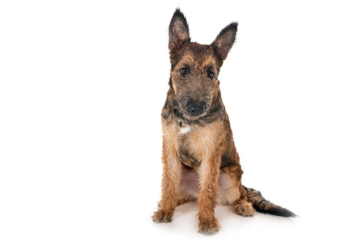 Belgian Laekenois puppy sitting facing forward.