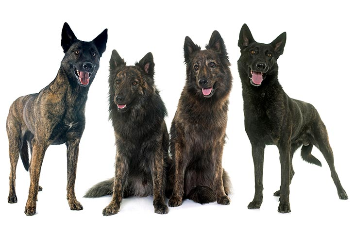 Four Dutch Shepherds side by side.