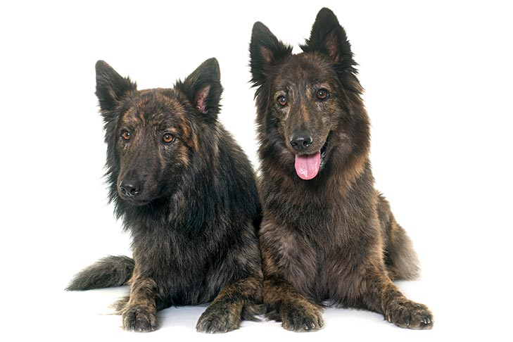 Two Dutch Shepherds laying side by side.