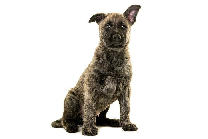 Dutch Shepherd puppy sitting facing forward.
