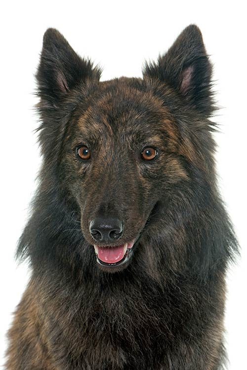 Dutch Shepherd head.