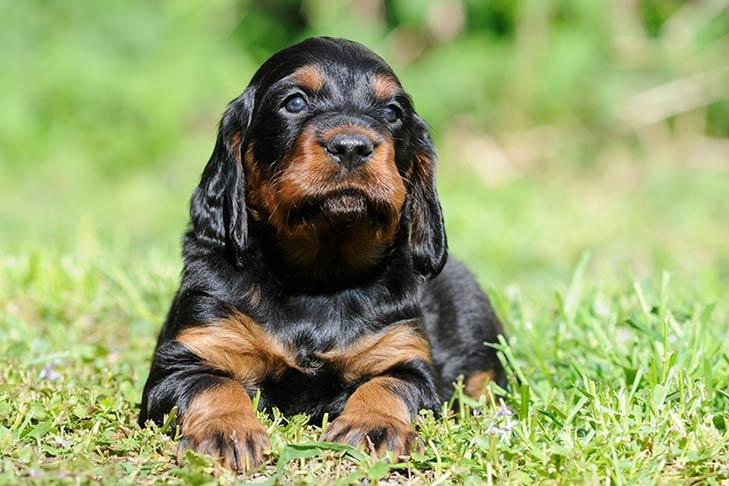 Gordon Setter Dog Breed Information
