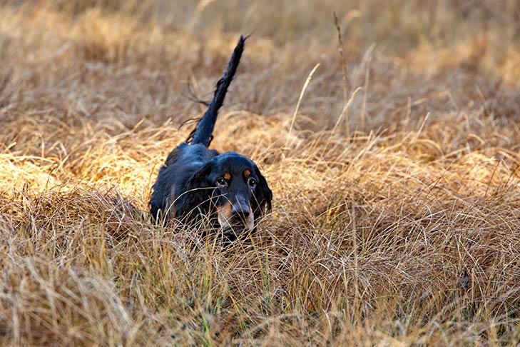 Gordon Setter just visible walking through tall brown grasses.