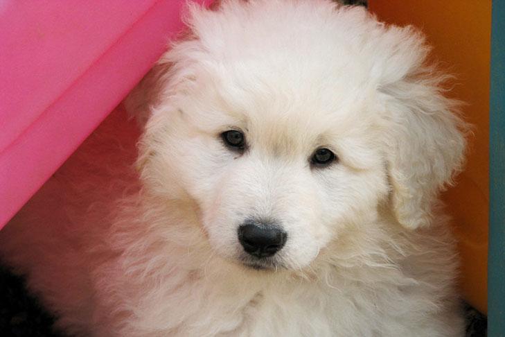 Kuvasz Puppies For Sale Akc Puppyfinder