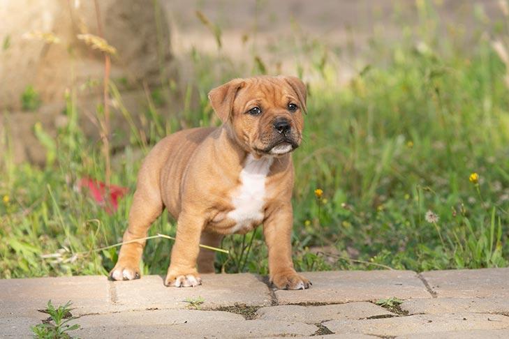 Staffordshire Bull Terrier Stafford Puppies For Sale Akc Puppyfinder