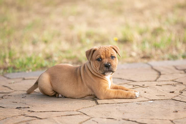 Staffordshire Bull Terrier puppy laying down outdoors.