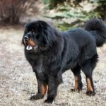 Tibetan Mastiff standing outdoors.