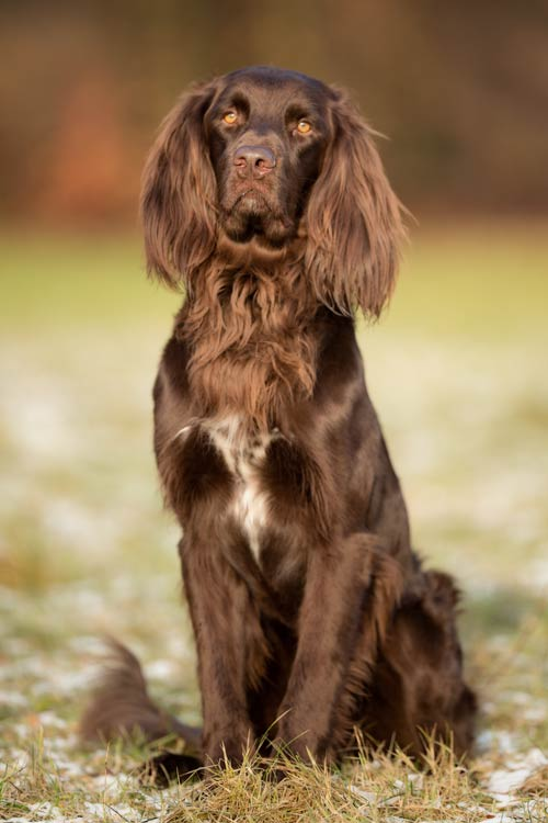 German Longhaired Pointer Dog Breed Information American Kennel Club