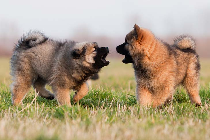 Eurasier puppies playing in the grass.