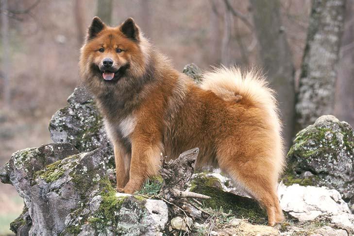 Eurasier Dog Breed Information - American Kennel Club