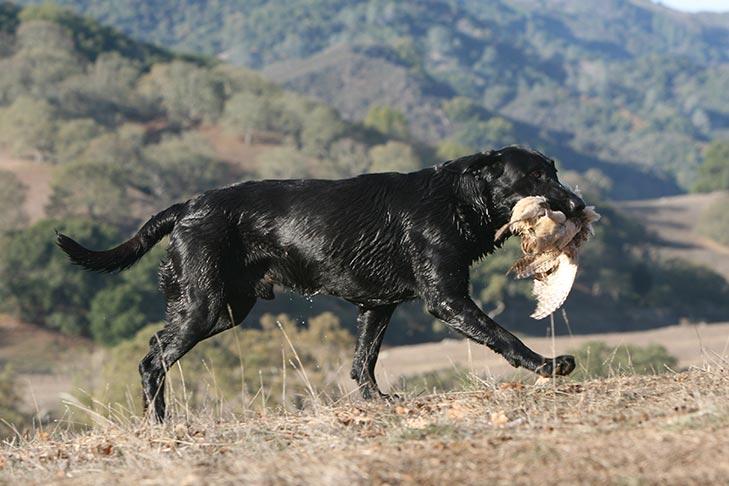 كلب لابرادور ريتريفر