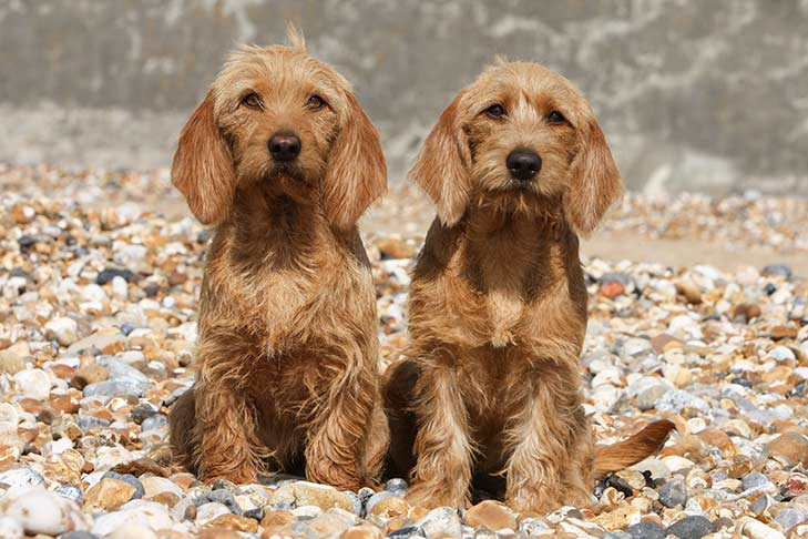basset fauve de bretagne dog breed information - american kennel club