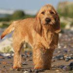 Basset Fauve de Bretagne standing on a beach.