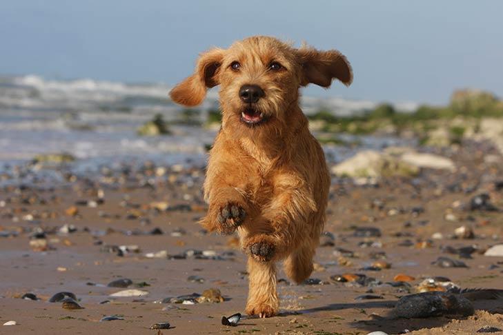 Basset Fauve de Bretagne running along a beach.