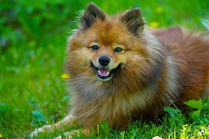 German Spitz laying outdoors in the grass.