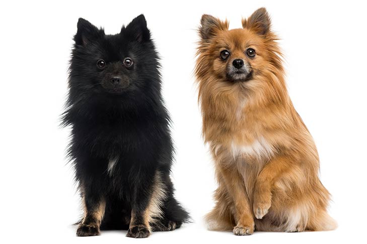Two German Spitz sitting side by side.