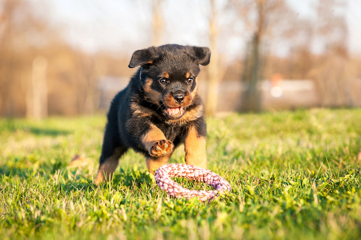 Rottweiler puppy fetching a toy in the grass.