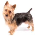 Australian Terrier standing in three-quarter view, head facing forward
