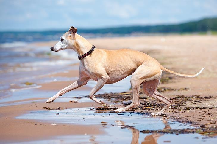 Whippet running on the beach.
