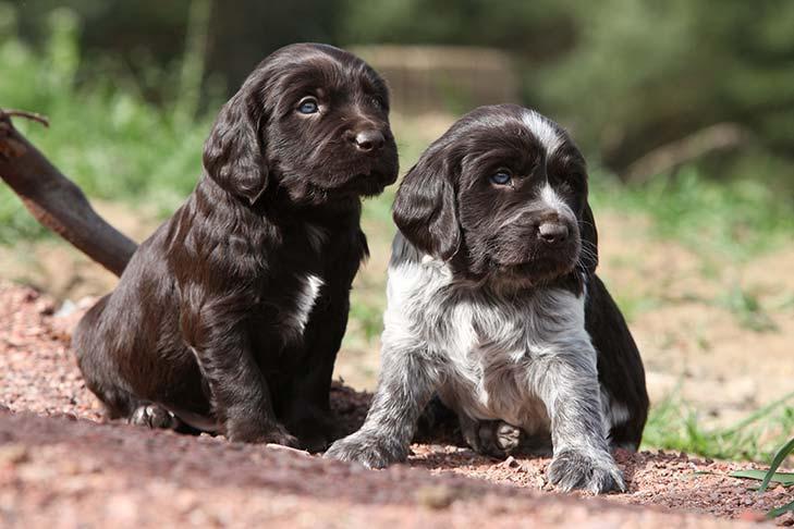 Deutscher Wachtelhund puppies sitting side by side outdoors.