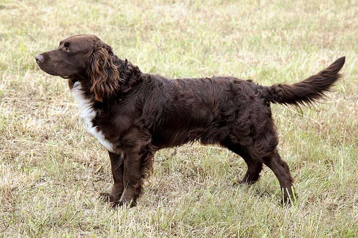Deutscher Wachtelhund standing outdoors facing left.