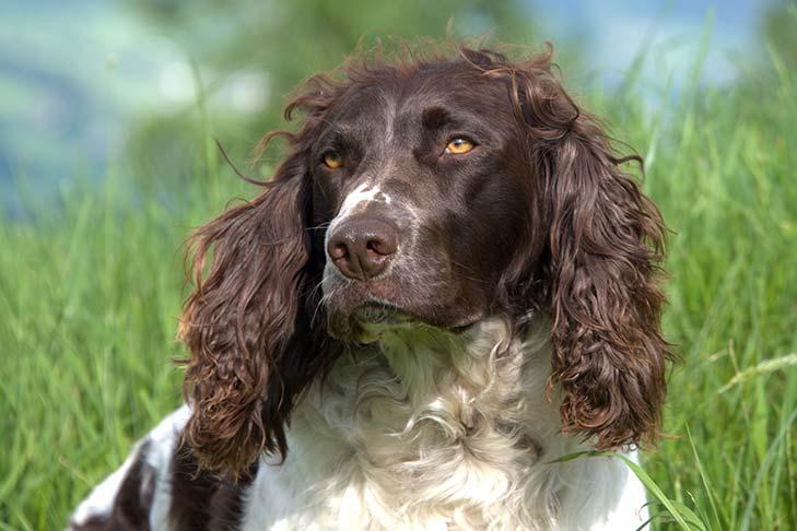 Deutscher Wachtelhund head outdoors in three-quarter view.