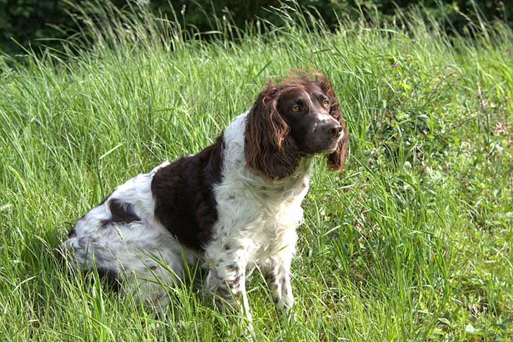 Deutscher Wachtelhund sitting in tall green grasses outdoors.