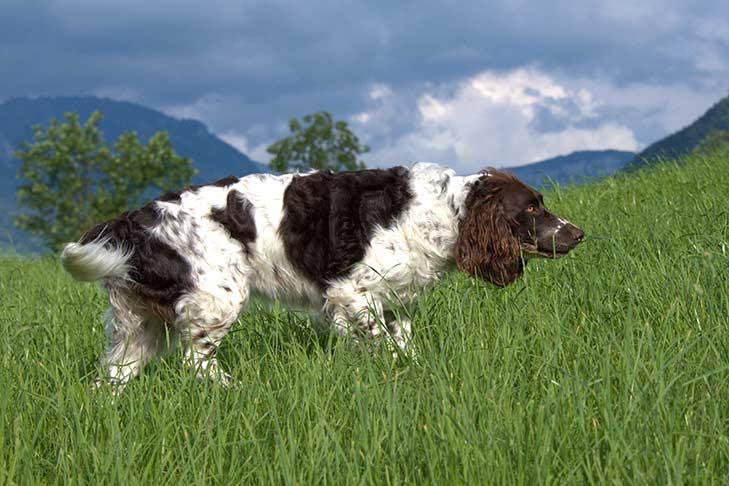 Deutscher Wachtelhund walking through tall green grasses outdoors.