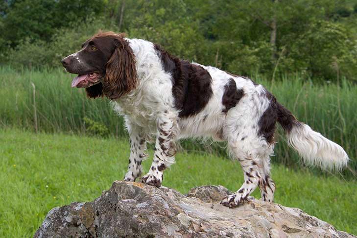 Deutscher Wachtelhund standing on a boulder outdoors.