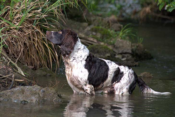 A wet Deutscher Wachtelhund knee-deep in a pond.