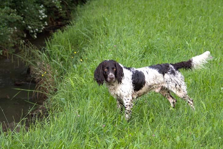 A wet Deutscher Wachtelhund standing outdoors in long grasses next to a creek.